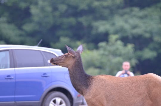 Wildlife needs space, this car is blocking an elk from crossing the road.