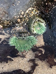 Sea anemones at Roads End State Recreation Site