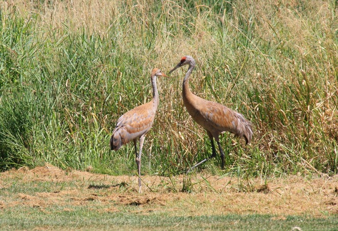 Sandhill cranes, nearly gone from our state in the 1940s, are once again quite plentiful.