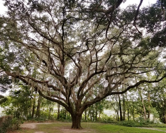 Live oak trees provide beauty, shade and habitat, and have become the symbol for Tallahassee living.