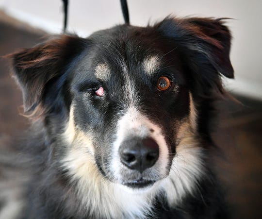Vegas is a two-year-old, black, white and brown, female Australian Shepherd mix. She has been vaccinated, spayed and microchipped. Vegas is sweet but does not like cats. She is available for adoption at the Humane Society of Wichita County.
