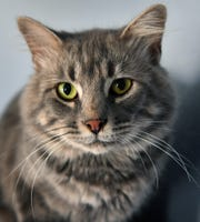 Charles is a one-year-old, grey tabby, domestic medium-haired cat. He has been neutered, vaccinated and microchipped. Charles is calm, gets along with other cats and is available for adoption at the Humane Society of Wichita County.