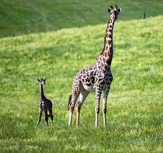 A baby giraffe was recently born at The Wilds.