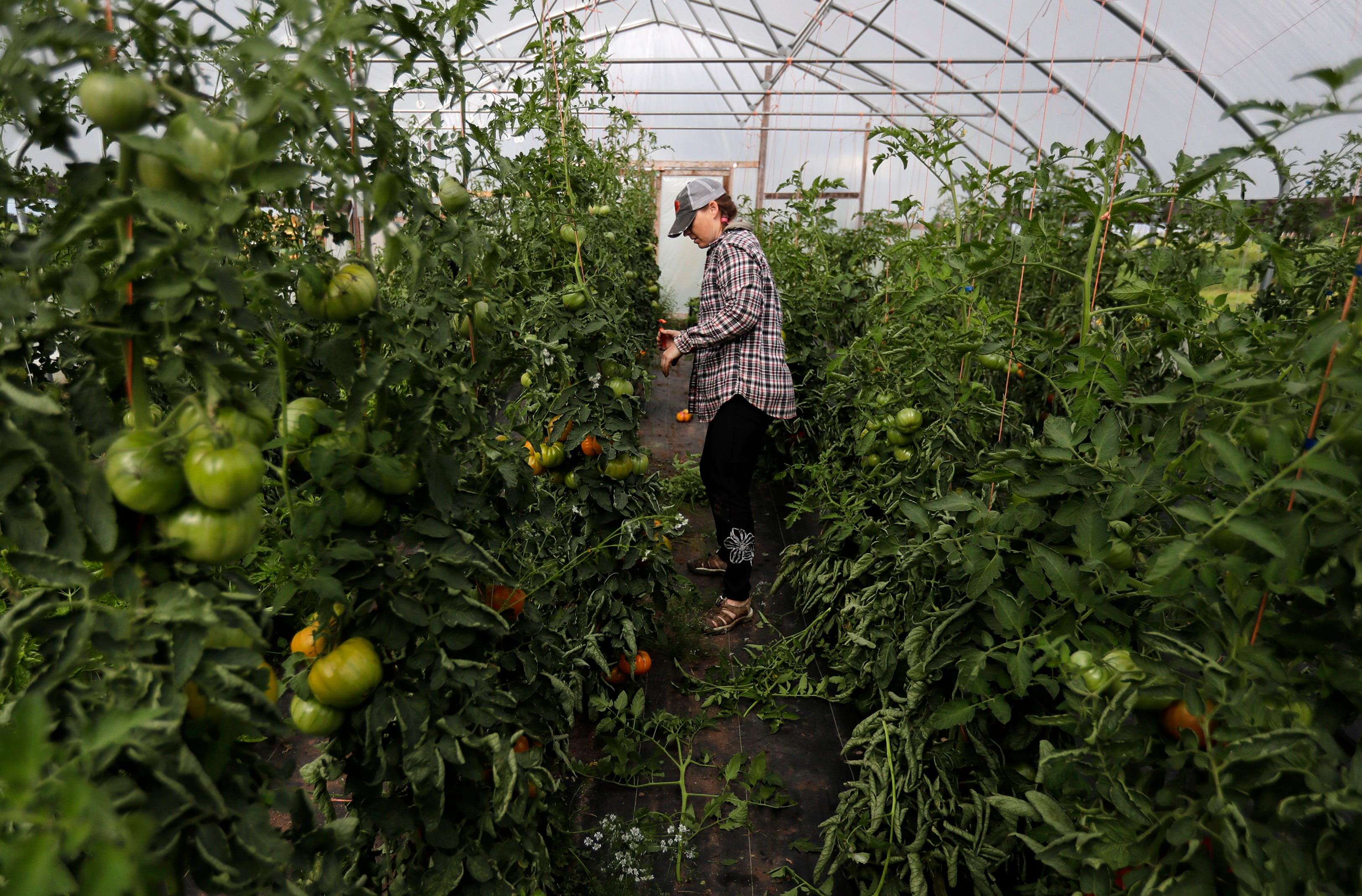 Rachel Baranczyk, an employee with Full Circle Community Farm, weeds through tomatoes Tuesday, Aug. 27, 2019 in Seymour, Wis.