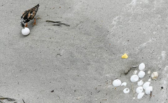 A bird pecks at a sea turtle egg exposed by the pounding surf of Hurricane Dorian at Coconut Point Park In Melbourne Beach.