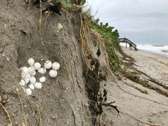 Significant erosion in Cocoa Beach exposes sea turtle nest of unhatched eggs