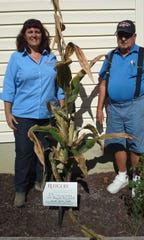 Michelle Infante-Casella, an agricultural agent with Rutgers Cooperative Extension in Gloucester County, visited the Deptford home of Matt Jacovelli to verify the number of cobs on his cornstalk. Infante-Casella counted 29 cobs, which could break a Guinness world record.