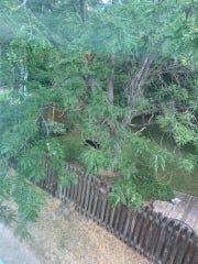 A bear is seen in a backyard in Silverplume near Rocky Mountain High School in Fort Collins on Sept. 4.