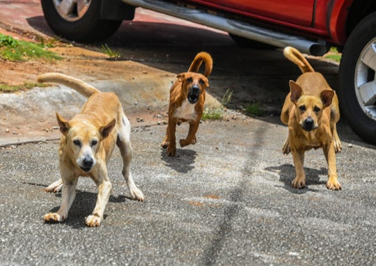 Three stray dogs aggressively charge out from under a parked vehicle in Dededo on Wednesday, Sept. 4, 2019.