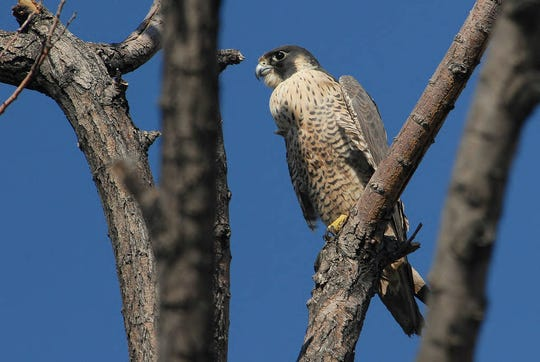 The Endangered Species Act helped rehabilitate peregrine falcons in New Jersey.