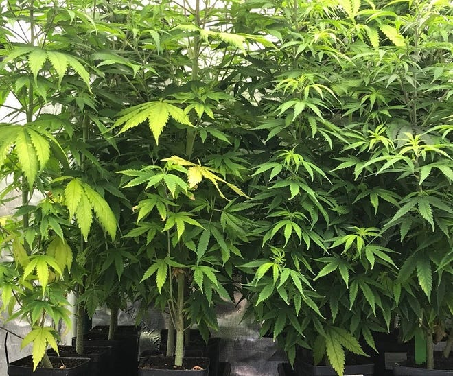 Hemp plants. New Mexico State University regents approved the New Mexico Department of Agriculture's proposed hemp manufacturing rule at its regular meeting Sept. 4.