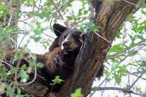 A black bear lounges in a tree.
