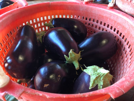 Freshed picked eggplant at Flaim Farms in Vineland
