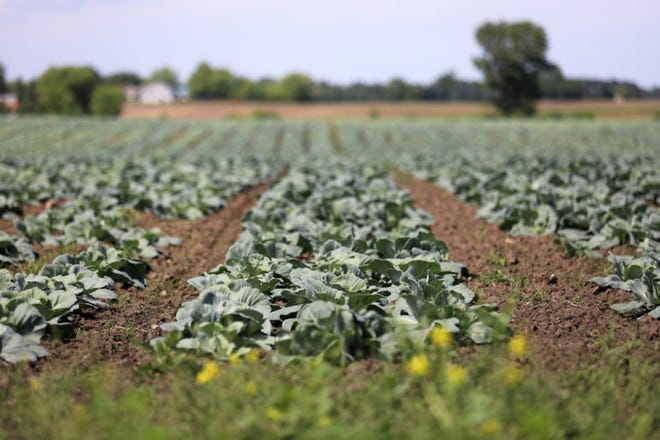 """Cabbages are seen in a field in southeastern Wisconsin, near where federal authorities charge workers from Mexico were illegally trafficked. """"Roberto"""" and 13 other men were legally brought from Mexico to Georgia on temporary worker visas then illegally taken to Wisconsin to pick cabbages at Borzynski Farms in the fall of 2016. The men worked long hours in the fields in unsafe conditions, according to the federal indictment against the labor contractor, Garcia & Sons."""