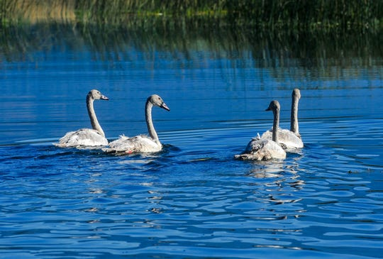Trumpeter swans are the largest waterfowl in North America and are protected by state and federal laws for migratory birds.
