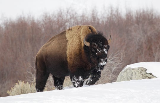 A bison from Yellowstone National Park walks through the snow in 2011.
