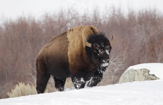 A bison from Yellowstone National Park walks through the snow near Gardiner, Mont., in 2011.