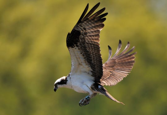 Osprey C09, seen here in 2009, turns 20 years old this year. The threatened bird species usually lives to 10 years old. CO9 nests in Kensington Metropark.