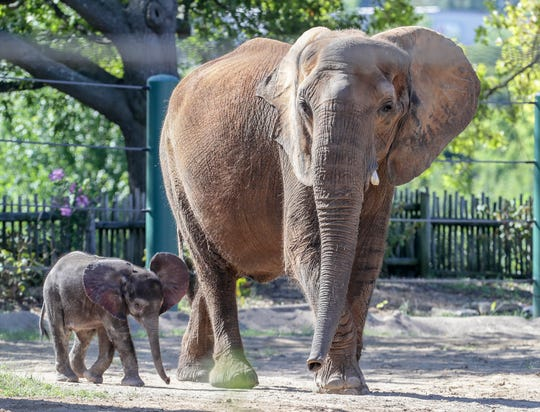 The Louisville Zoo put their baby elephant on display for a short time on Thursday morning.  Mikki's calf shared the enclosure with her and rarely left her side.