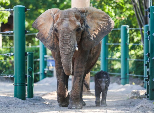 Mikki, a 33-year-old African elephant, walks with a bull calf she recently gave birth to at the Louisville Zoo in Kentucky.