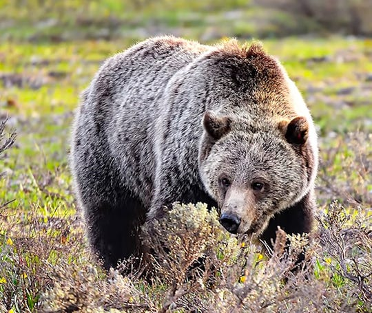 Grizzly from Yellowstone by Joe Parisi.