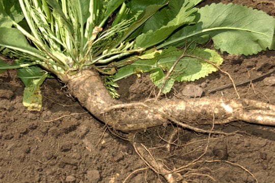 Horseradish is a gnarly root vegetable that grows underground for 12 to 18 months.