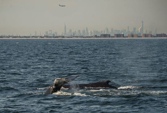 Two humpback whales surface with the New York skyscrapers in the distance.