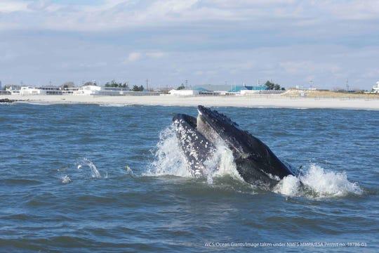 A humpback whale (Megaptera novaeangliae) close to shore.