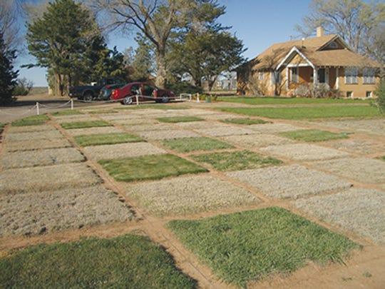 Warm- (tan-colored) and cool-season (green) turfgrasses in late winter.