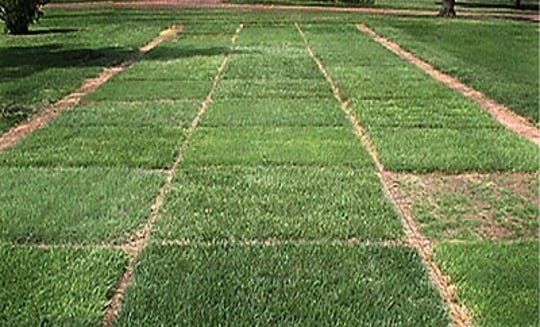 A turfgrass research plot in which different turfgrass varieties are evaluated.