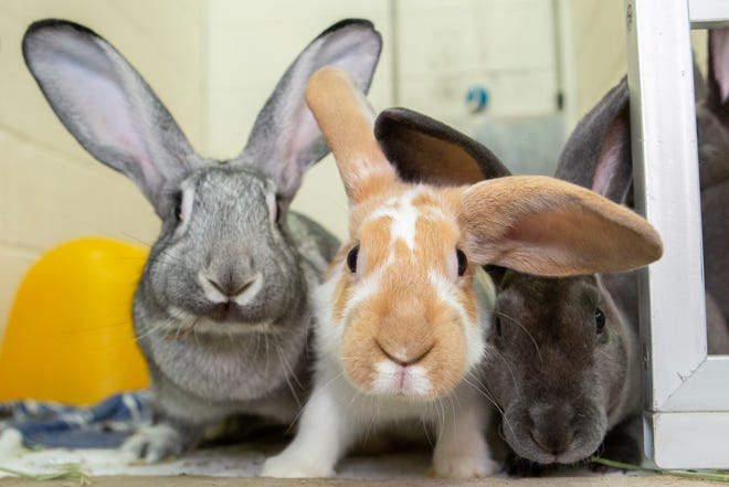 """Arizona Humane Society workers and Gilbert police officers removed 166 rabbits living in """"horrific"""" conditions inside a shed."""