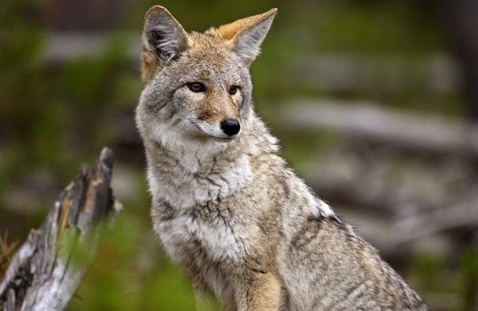 Nuisance coyotes in Missouri could be hunted with night-vision and thermal-imaging scopes  if a proposed rule change is adopted by MDC.