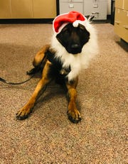 Stevens Point police dog Luna was a fan of dressing up, sporting this Santa Claus outfit in December 2018. Luna died Wednesday morning after being exposed to wild mushrooms while off duty on Labor Day.
