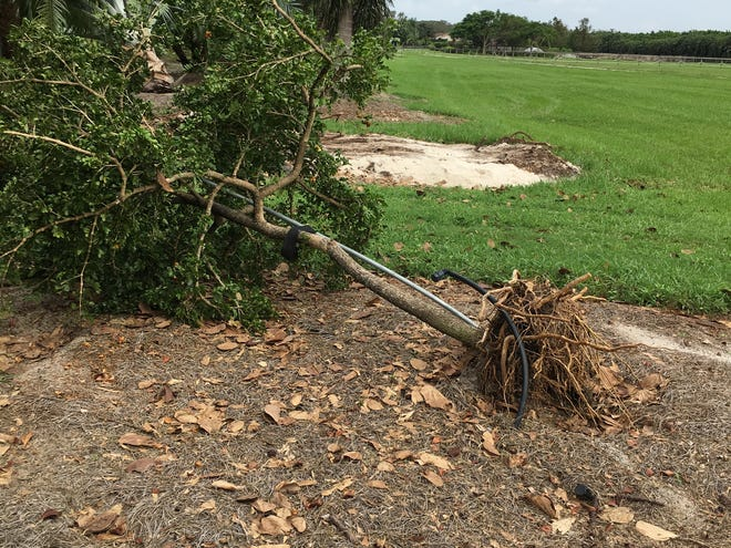 This tree went down during Hurricane Dorian because it has circling roots, which were left in place when planted. Because it is young, it can be replanted and will do well if the circling roots are removed. Mature, established trees uprooted by the storm may appear to recover if replanted. However, many of the older, larger reset trees will have a higher chance of failing in future wind storms.