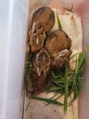 Three baby rabbits are seen as they are cared for before being released by Kemp Rehabilitation & Release. The nonprofit fears new city regulations could jeopardize the care they provide to wild animals and cause some volunteers to leave.