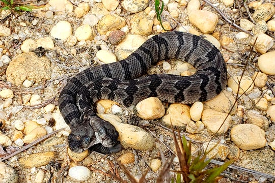 This August 2019 photo provided by Herpetological Associates, Inc. shows a newborn two-headed timber rattlesnake which was found in New Jersey's Pine Barren. Herpetological Associates of Burlington County CEO Bob Zappalorti says the snake has two brains and each head acts independently of the other.