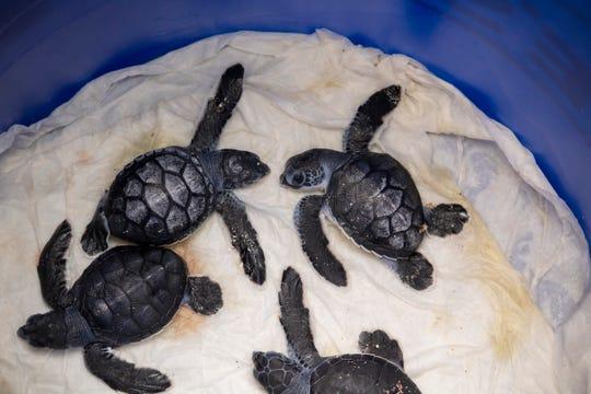 Brevard Zoo's Sea Turtle Healing Center has taken in 20 premature green sea turtle hatchlings following Hurricane Dorian.