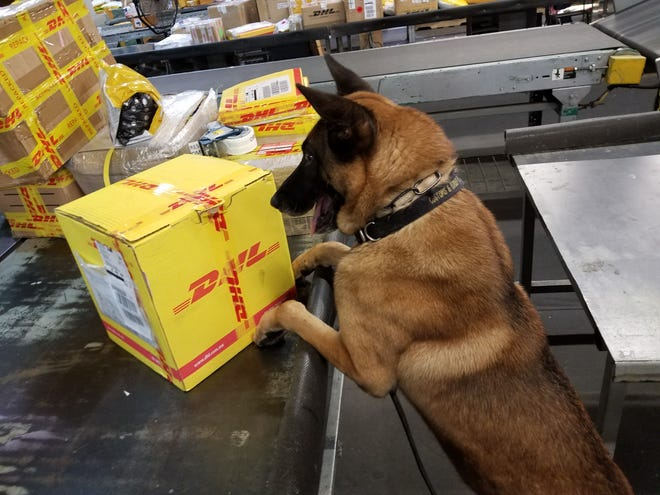 Freddy, a Belgian Malnois narcotics officer for the U.S. Customs and Border Patrol Cincinnati office, inspects a package.