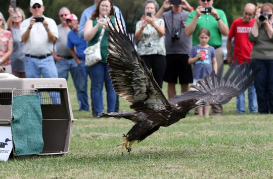 A juvenile bald eagle that was rescued from U.S. 36 near Coshocton takes flight after being released at Lake Park on Friday. The eagle was at the Ohio Wildlife Center Wildlife Hospital in Powell for rehabilitation this summer.
