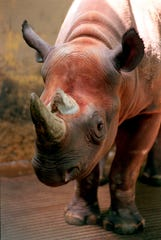 In this June 6, 1997 file photo, Spike, a rare black rhino, is shown at the Cleveland Metroparks Zoo in Cleveland, Ohio.  The Trump administration says it will issue a permit to a Michigan trophy hunter to import the skin, skull and horns from a rare black rhinoceros he shot last year in Africa.  (AP Photo/The Plain Dealer, Scott Shaw)