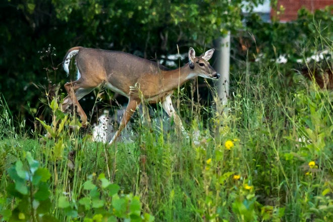 A deer walks along Melrose Avenue, Thursday, Aug. 29, 2019, near the University of Iowa Soccer Complex in Iowa City, Iowa