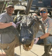 Matt Sojourner (left) and Thomas Garland, along with Jed Stevens (not pictured) caught a 13-foot, 6-inch alligator Friday morning.
