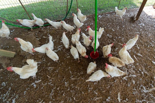 Wayne Oubre brought chickens to campus four years ago as a more hands-on approach to teaching agriculture in school.. Thursday, Sept. 5, 2019.