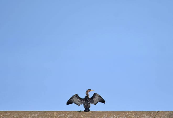 A cormorant air dries in the sun after fishing in the Clear Fork Reservoir on Friday.