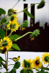 An American Goldfinch eats seeds from a sunflower at the 9/11 memorial at Richard DeKorte Park in Lyndhurst, N.J. on Friday Sept. 6, 2019.