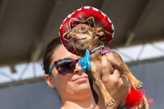 The Arizona Taco Festival will have activities such as a Chihuahua beauty contest.