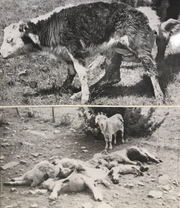 File photos from 1973 -- Top photo:  A cow tries to help her calf after an attack by a female coyote, which the rancher ran off. The calf died. Bottom photo: An injured goat stands by the bodies of sheep and goats killed by coyotes during a raid on the herd.