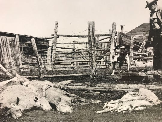 Stray dogs have long been a problem for wildlife producers in the United States. Sheriff PeeWee McDougall examines dead sheep killed by dogs near Lander in Fremont County, Wyoming in this Associated Press photo from 1964.