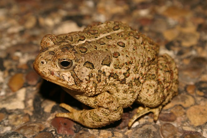 """Woodhouse's toad (Bufo woodhousii) is one of nine species of """"true"""" toads that occur in Texas."""
