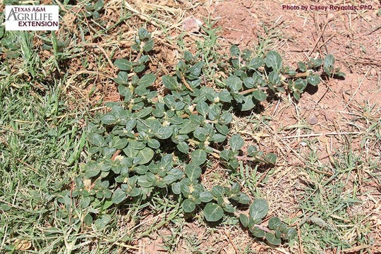 Khakiweed is a common problem plant for many in West Texas, and the best solution is keeping a healthy thick lawn as the species thrives in blank spaces.